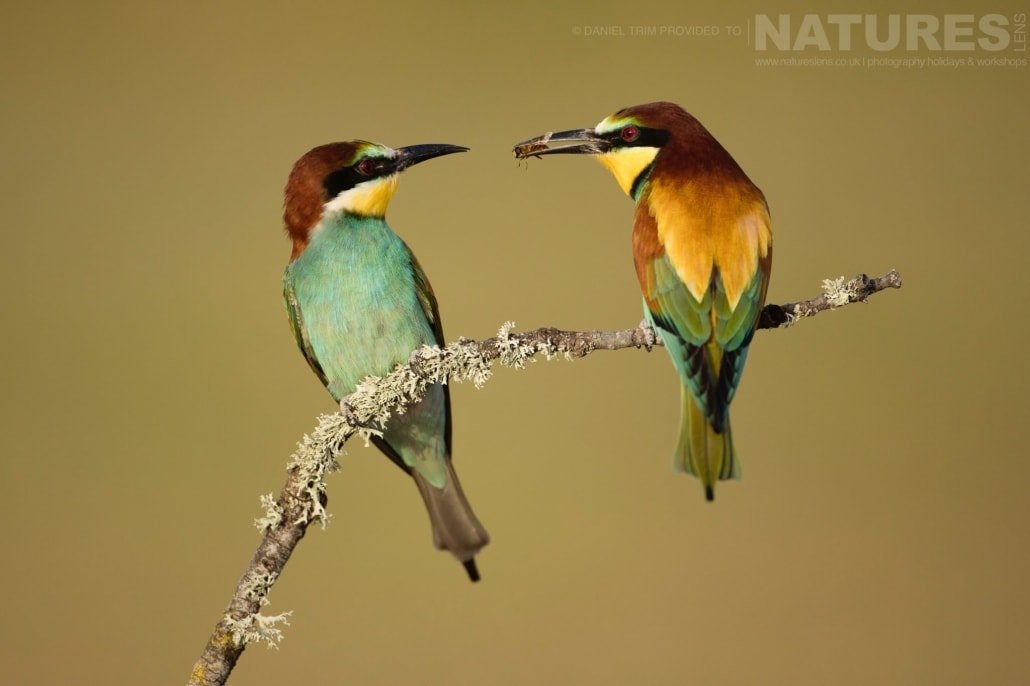 Demonstrating the classic food pass, this pair of European Bee eaters are entranced with one and other image captured during a NaturesLens Spanish Bird Photography Holiday