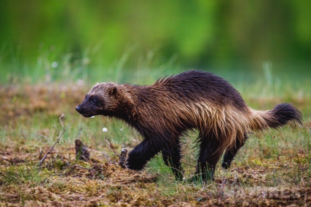 Hurtling past at speed, one of the wolverines that visited the hides in addition to the bears photographed during the NaturesLens Wild Brown Bears of Finland Photography Holiday
