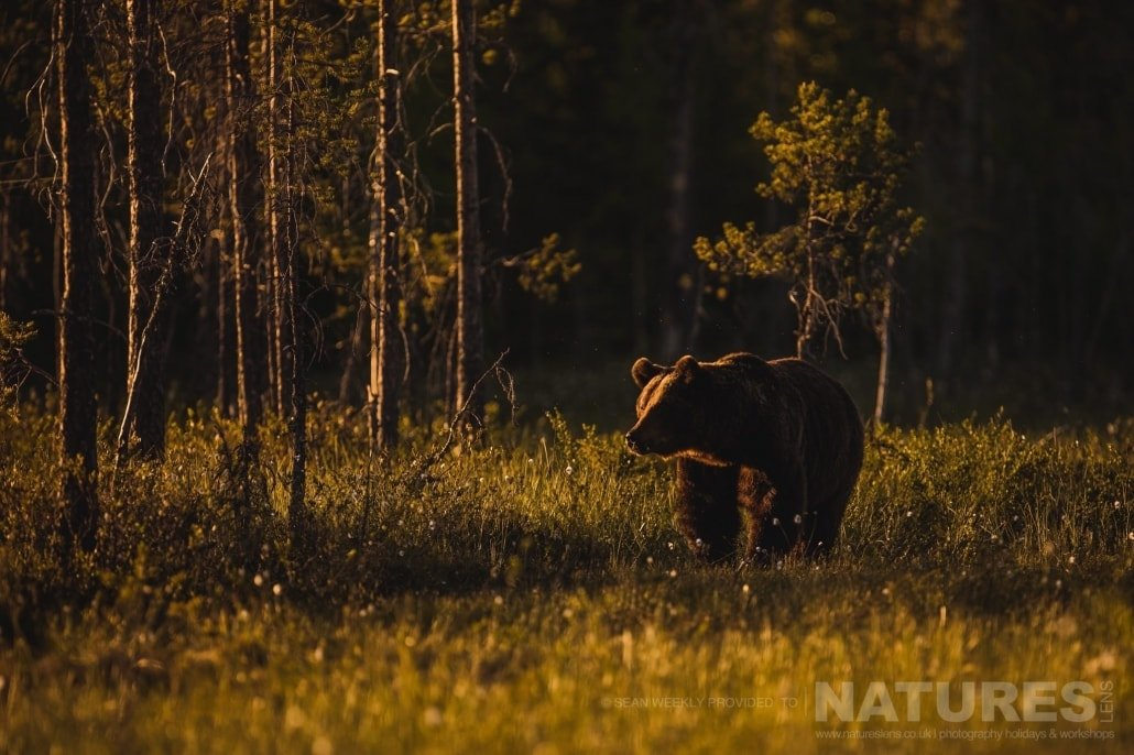 Illuminated in a fantastic golden light, one of the big male Brown Bears approaches one of the hides photographed during the NaturesLens Wild Brown Bears of Finland Photography Holiday