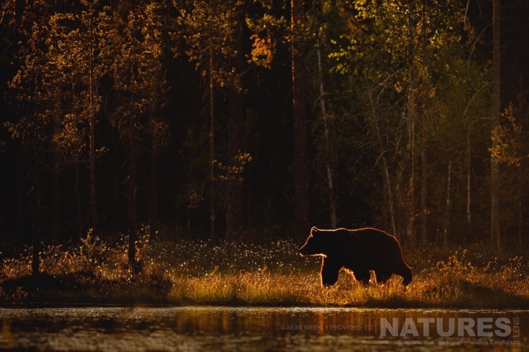 Illuminated in a fantastic golden light, one of the big male Brown Bears wanders beside the lake photographed during the NaturesLens Wild Brown Bears of Finland Photography Holiday