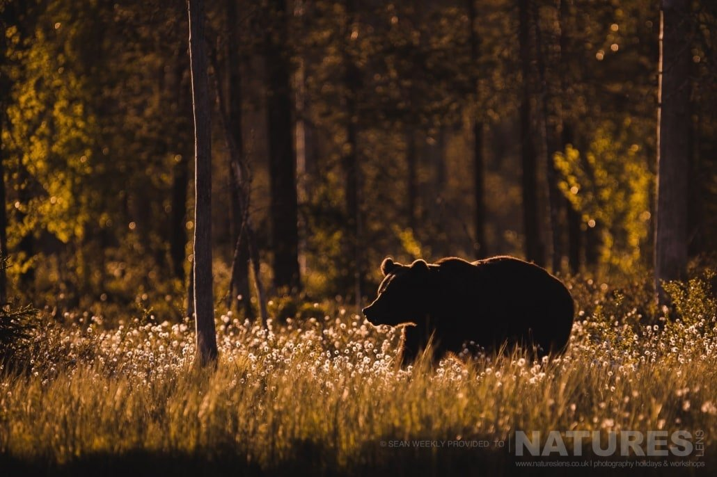 Illuminated in a fantastic golden light, one of the big male Brown Bears wanders through the cotton grass photographed during the NaturesLens Wild Brown Bears of Finland Photography Holiday