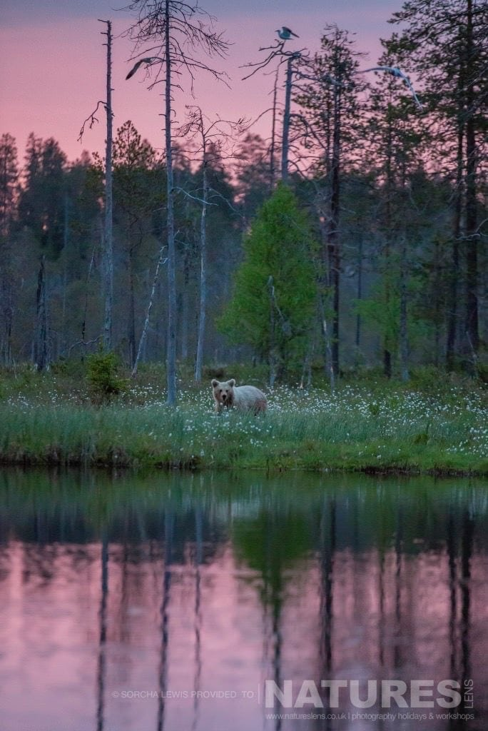In a dusky pink light of the midnight sun, one of wild brown bears up close to one of the lakes photographed during the NaturesLens Wild Brown Bears of Finland Photography Holidays