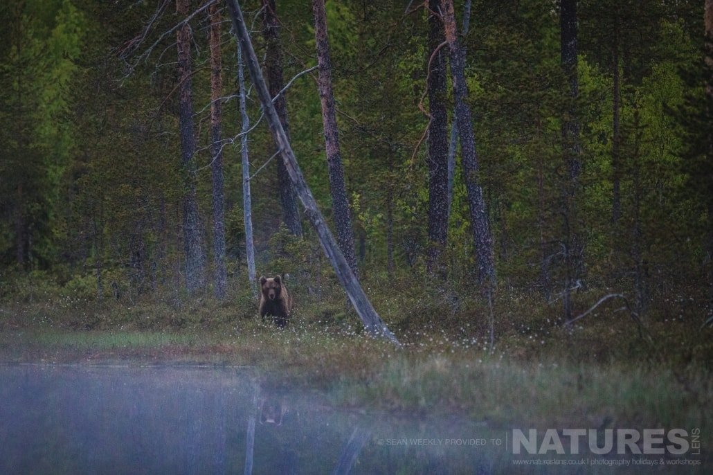 In the mist, by one of the lakes, one of the juvenile male Brown Bears walks out of the depths of the Taiga Forest