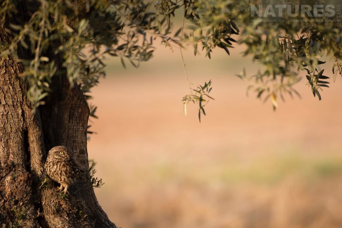 Nestled in the trees within the olive grove, the little owls make their nests image captured during a NaturesLens Spanish Bird Photography Holiday