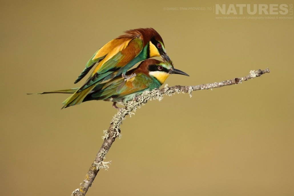Of course, when we visit, many of the species, such as this pair of European Bee eaters, are at the height of their mating season image captured during a NaturesLens Spanish Bird Photography Holiday