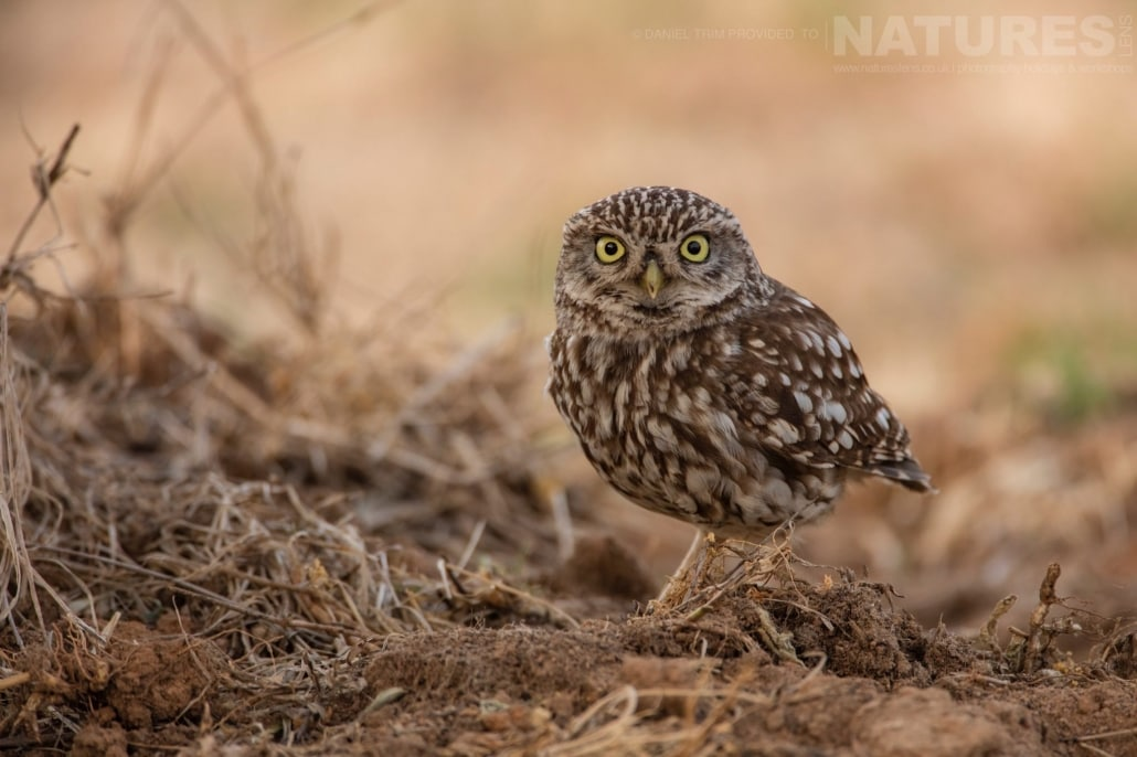 On the ground, a little owl attempts to out stare the camera lens grove image captured during a NaturesLens Spanish Bird Photography Holiday