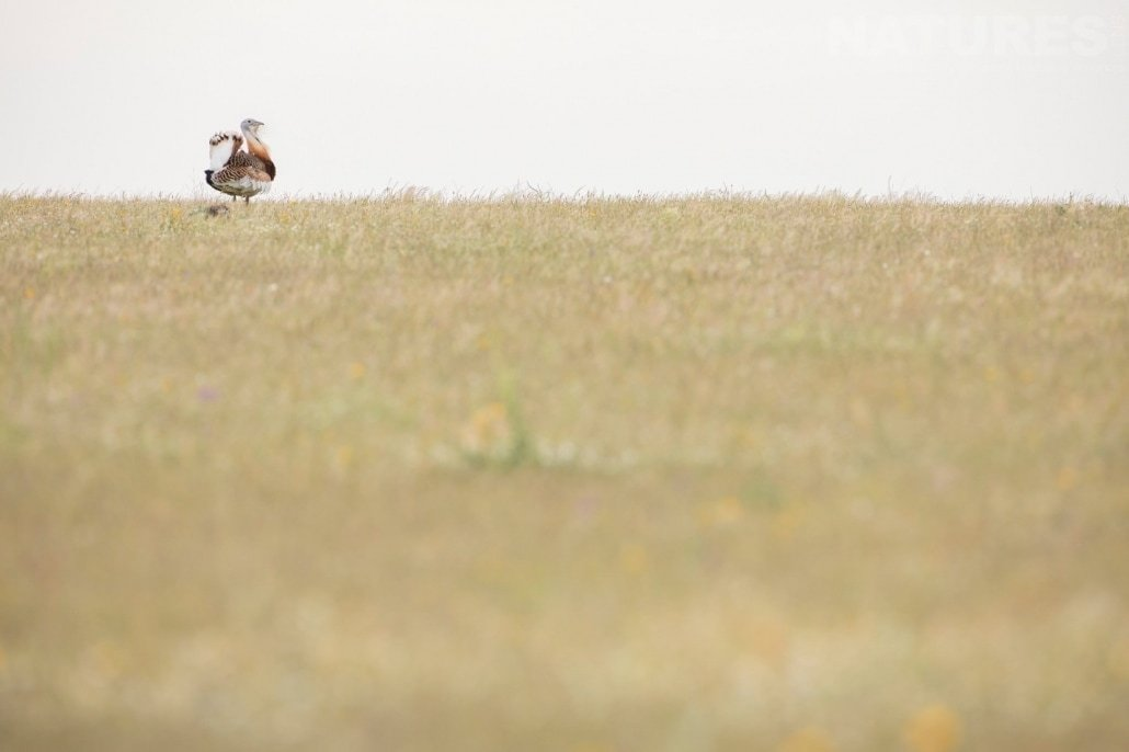 On the plains, the bustards are king image captured during a NaturesLens Spanish Bird Photography Holiday