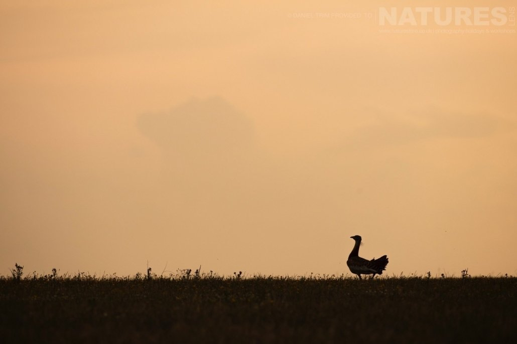 One of Calera's Bustards at sunrise image captured during a NaturesLens Spanish Bird Photography Holiday