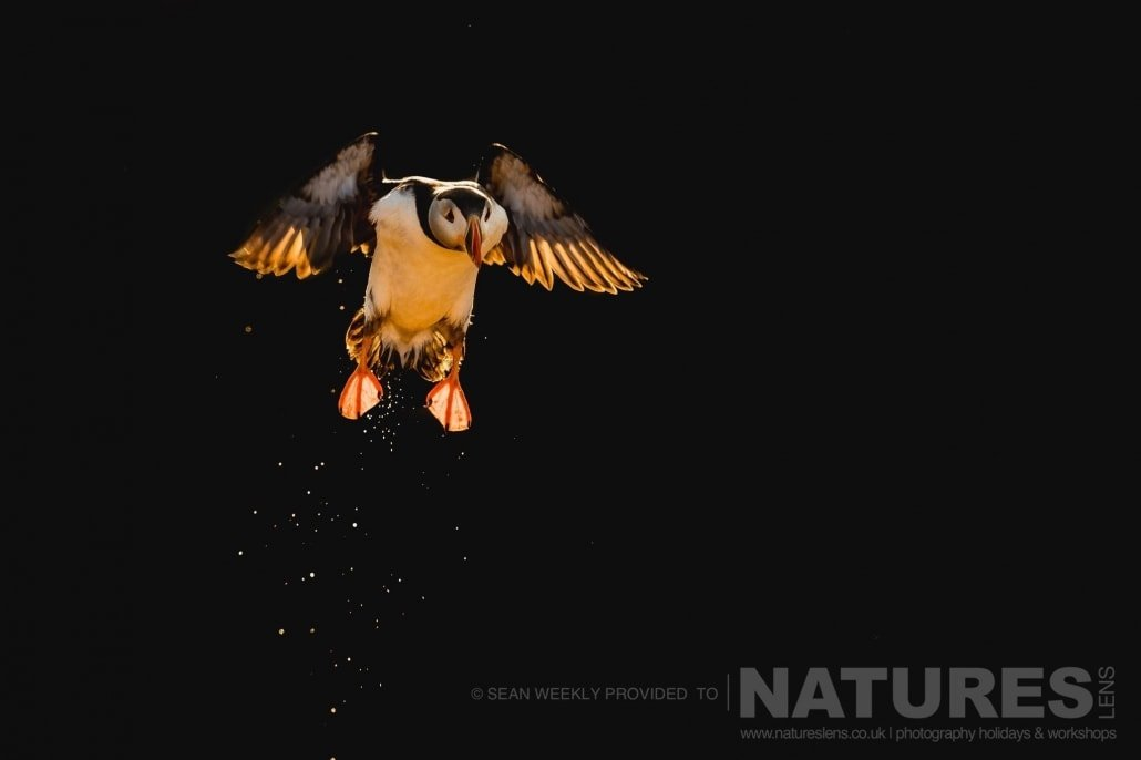 One of the Puffins of Skomer, coming in to land, isolated against the dark backdrop of the cliffs behind photographed during the 2017 Puffins of Skomer Island Photography Holiday