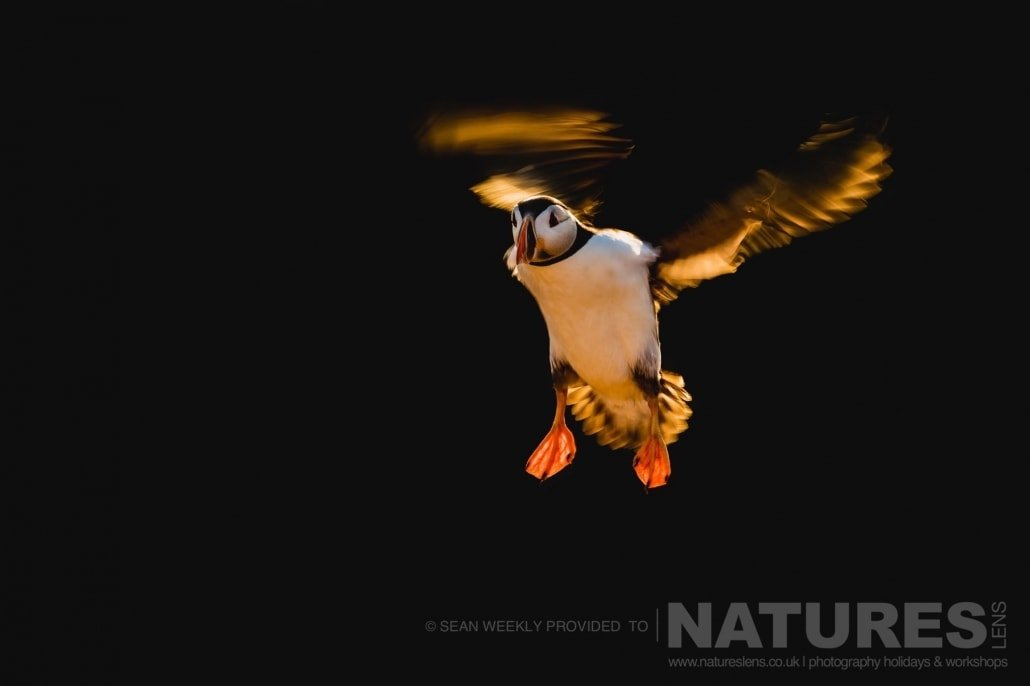 One of the Puffins of Skomer, frozen in flight & isolated against the dark backdrop of the cliffs behind photographed during the 2017 Puffins of Skomer Island Photography Holiday