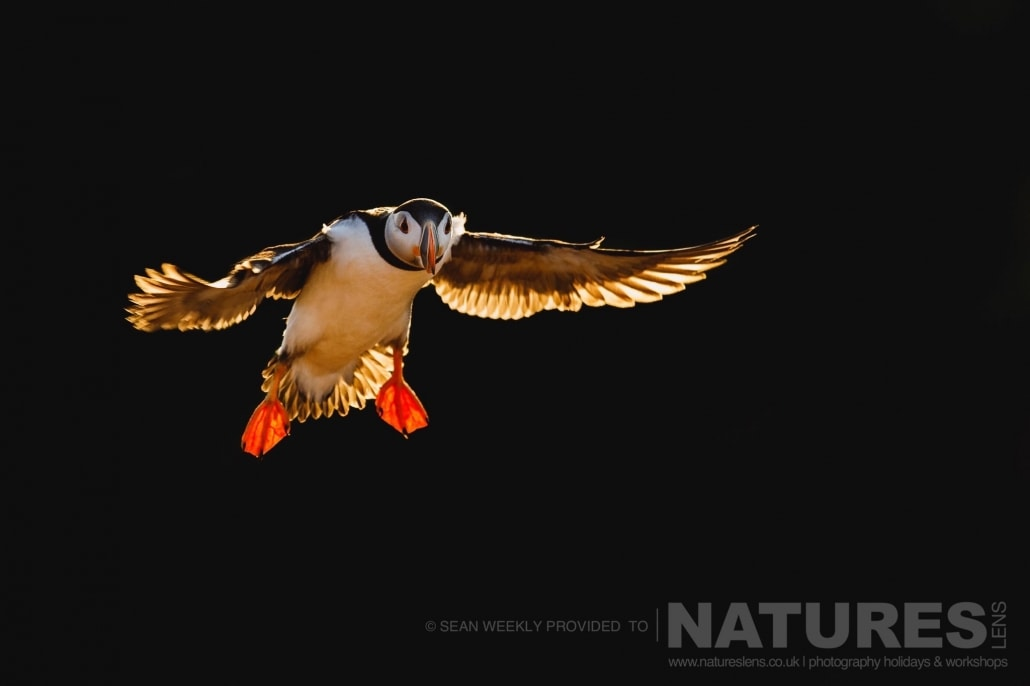 One of Skomer's Puffins, isolated against the dark backdrop of the cliffs behind photographed during the 2017 Puffins of Skomer Island Photography Holiday