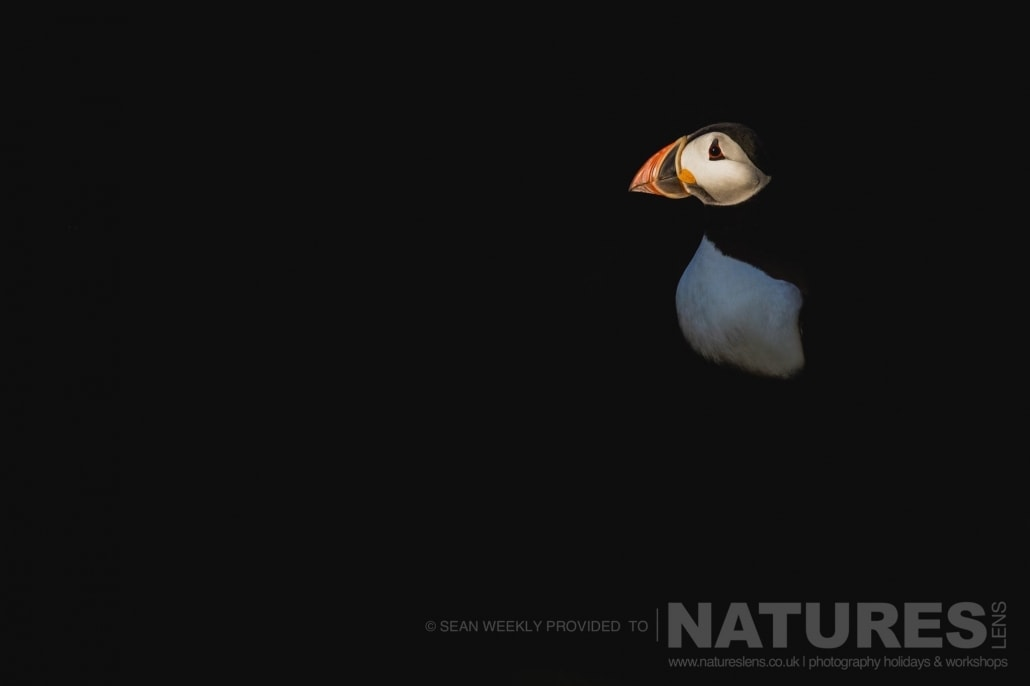 One of Skomer's Puffins, isolated in the darkness photographed during the 2017 Puffins of Skomer Island Photography Holiday
