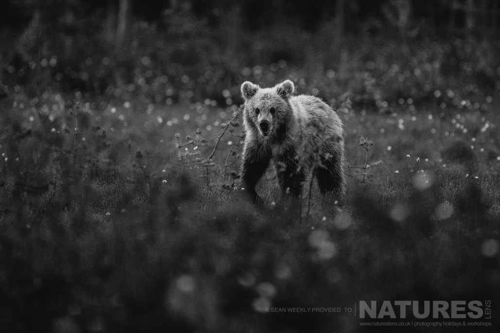 One of the Finnish Bears approaches through the cotton grass captured during the NaturesLens Wild Brown Bears of Finland Photography Holiday