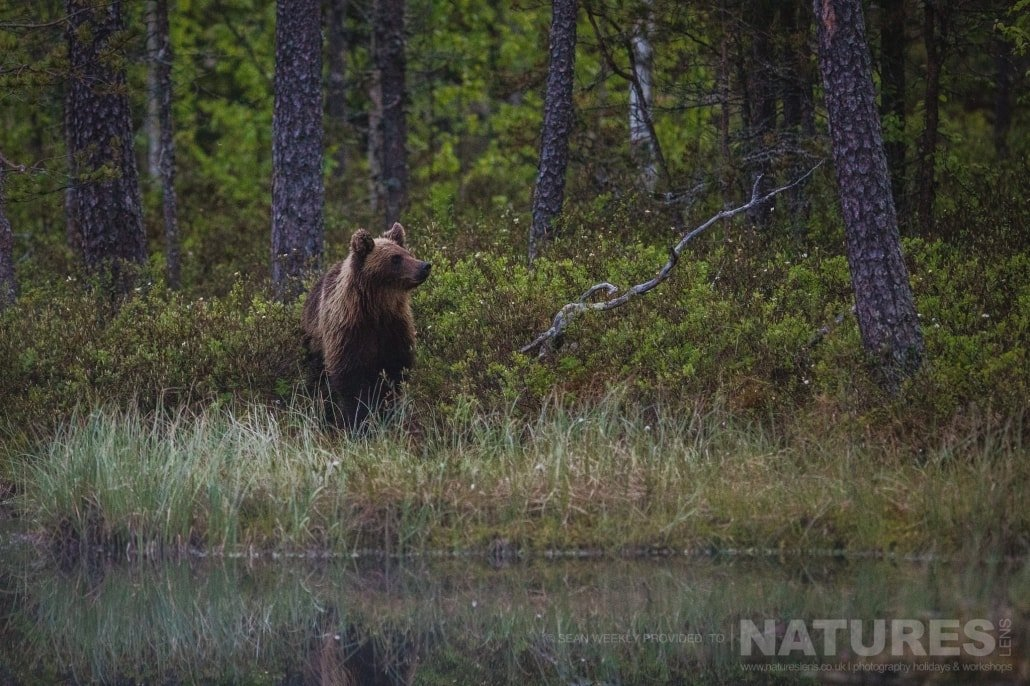 One of the Finnish Brown Bears alongside one of the small lakes photographed during the NaturesLens Wild Brown Bears of Finland Photography Holiday