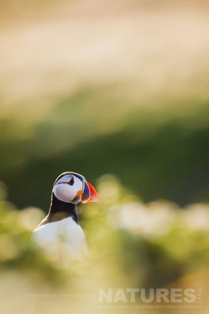 One of the Puffins of Skomer amongst the diffused foreground and background of the sea campion photographed during the July 2017 Skomer Island Puffin Photography Holiday
