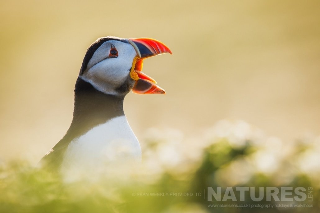 One of the Puffins of Skomer calls out, whilst stood amongst the diffused foreground and background of the sea campion photographed during the July 2017 Skomer Island Puffin Photography Holiday