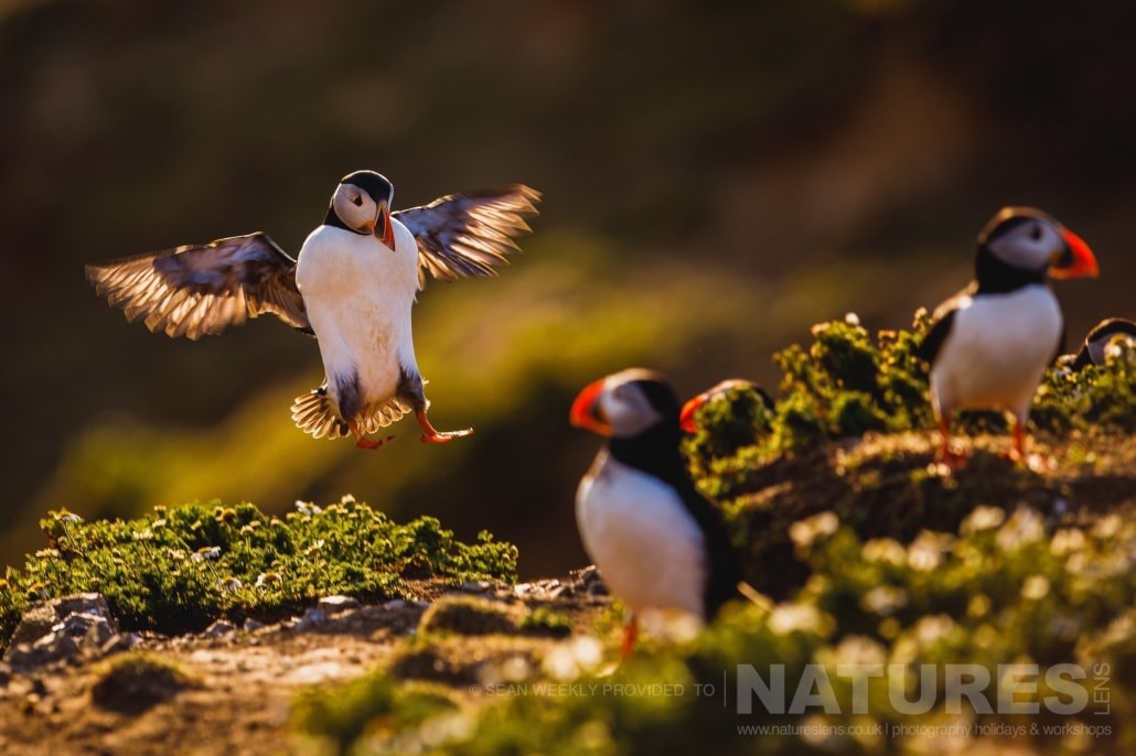 One of the Puffins of Skomer comes in for a backlit landing at The Wick photographed during the June 2017 Skomer Island Puffin Photography Holiday