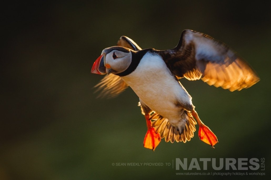 One of the Puffins of Skomer comes into land with wings illuminated by the backlighting of the sun photographed during the July 2017 Skomer Island Puffin Photography Holiday
