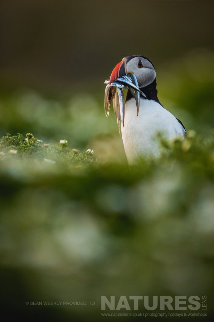 One of the Puffins of Skomer stood amongst the sea campion with a beak full of sand eels photographed during the July 2017 Skomer Island Puffin Photography Holiday