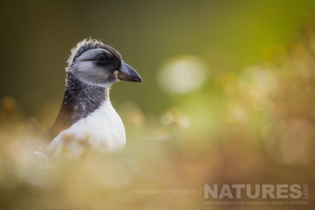 One of the Pufflings of Skomer stands amongst the sea campion of Skomer Island photographed during the June 2017 Skomer Island Puffin Photography Holiday
