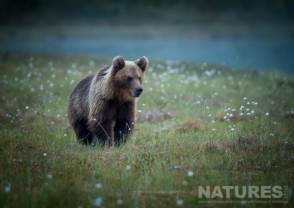 One of the Wild Brown Bears captured by NaturesLens guest Trevor during the Wild Brown Bears of Finland Photography Holiday