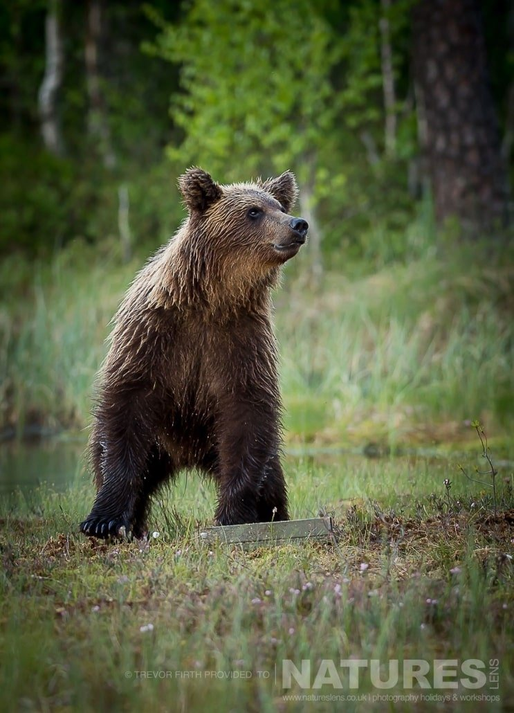 One of the Wild Brown Bears sniffs the air captured by NaturesLens guest Trevor during the Wild Brown Bears of Finland Photography Holiday
