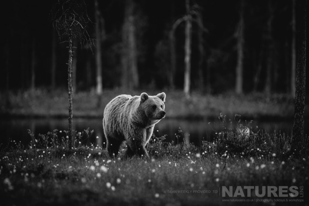 One of the big male Brown Bears approaches from lake captured during the NaturesLens Wild Brown Bears of Finland Photography Holiday