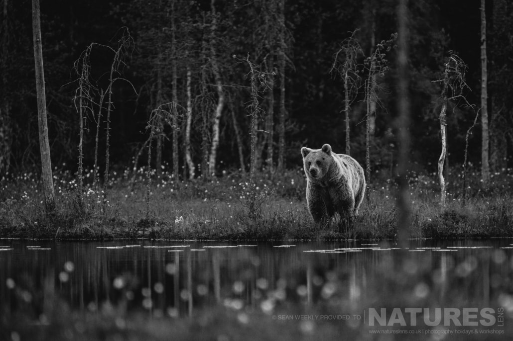 One of the big male Brown Bears approaches the lake captured during the NaturesLens Wild Brown Bears of Finland Photography Holiday