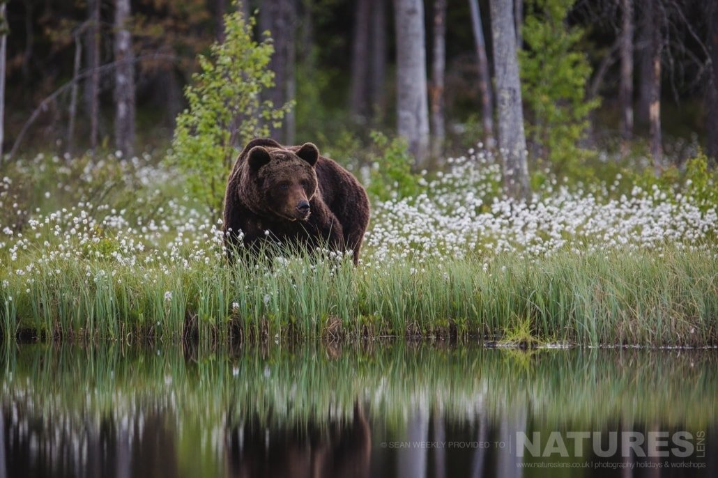 One of the big male Brown Bears approaches the lake photographed during the NaturesLens Wild Brown Bears of Finland Photography Holiday