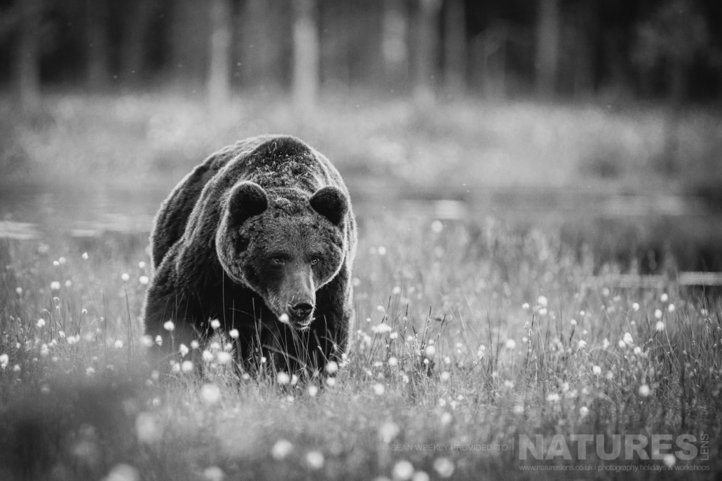 One of the big male Brown Bears approaches through the cotton grass captured during the NaturesLens Wild Brown Bears of Finland Photography Holiday