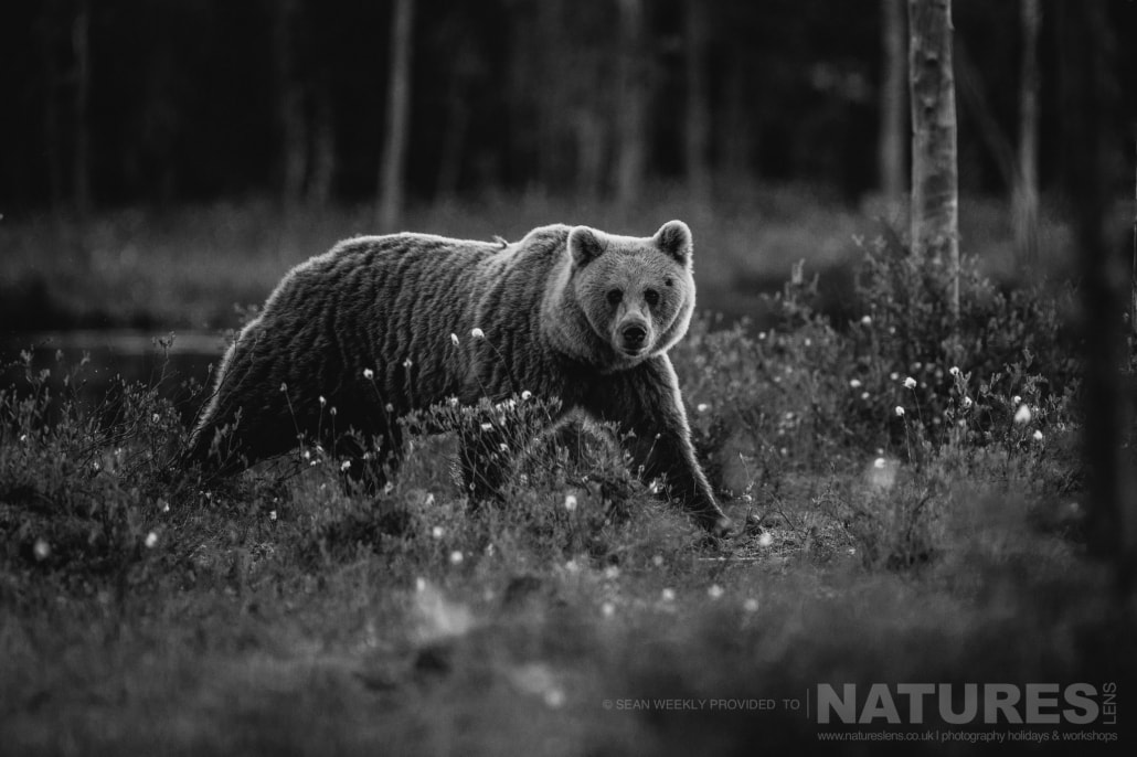 One of the big male Brown Bears stares directly at the photography hide captured during the NaturesLens Wild Brown Bears of Finland Photography Holiday