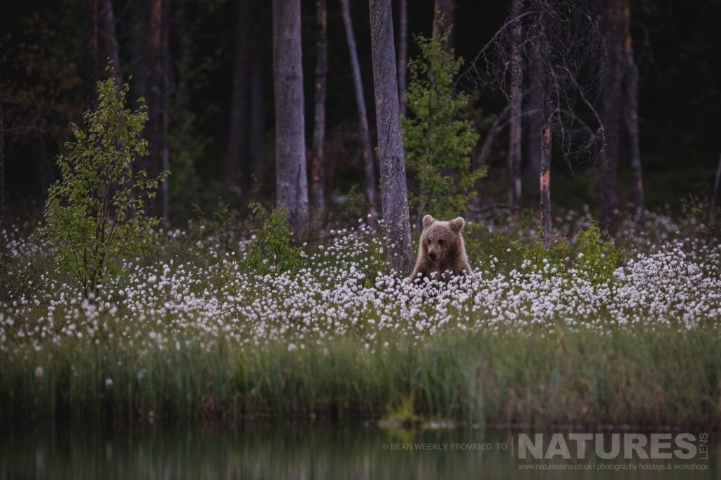 One of the brown bears of the Taiga, sitting pretty amongst the cotton grass photographed during the NaturesLens Wild Brown Bears of Finland Photography Holiday