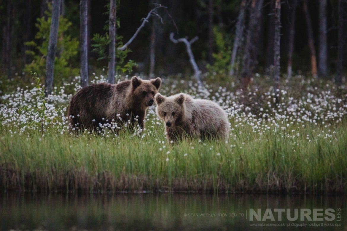 One of the female Brown Bears and her cub amongst the cotton grass of the Taiga photographed during the NaturesLens Wild Brown Bears of Finland Photography Holiday