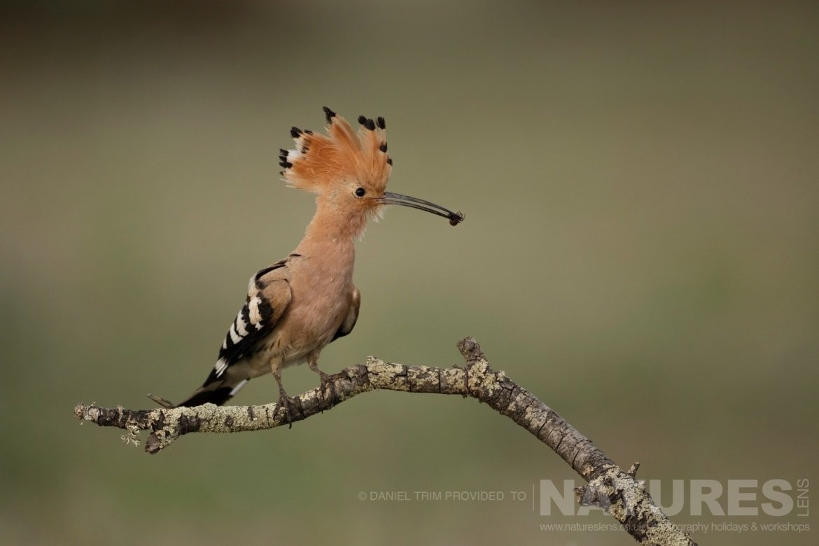 One of the hoopoes returns the nest site with a freshly caught grub photographed during the 2017 Natureslens Spanish Birds of Calera Photography Holiday