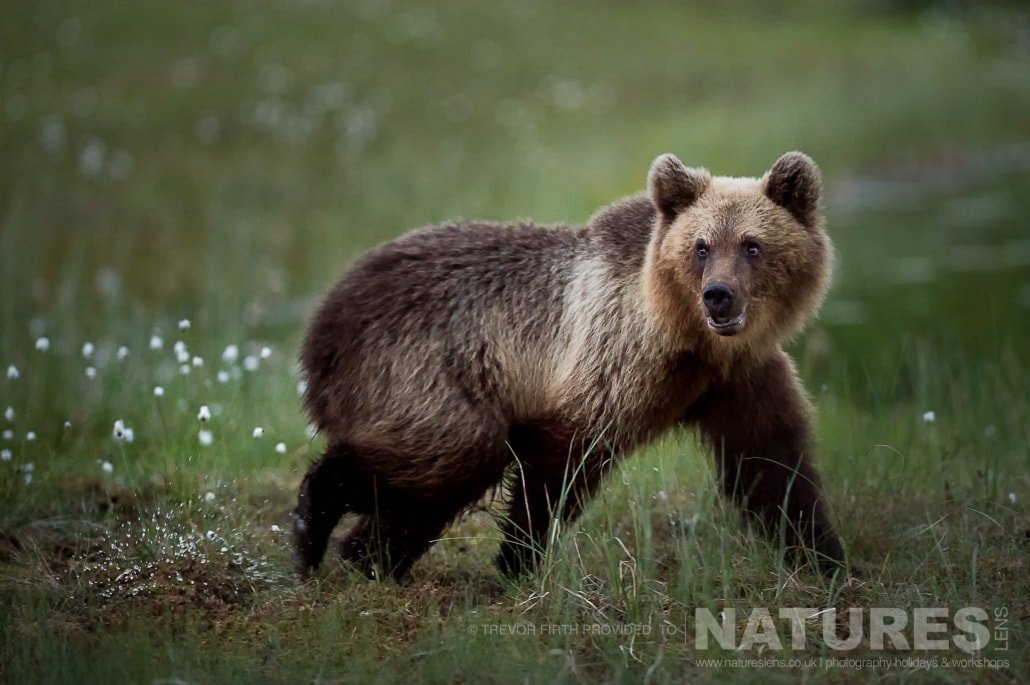 One of the juvenile wild brown bears as he approaches one of the hides photographed during the NaturesLens photography holiday to photograph the Wild Brown Bear