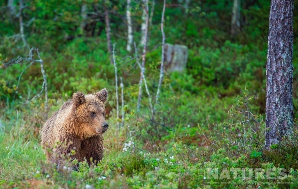 One of the juvenile wild brown bears emerges from the boreal forest photographed during the NaturesLens Wild Brown Bears of Finland Photography Holidays