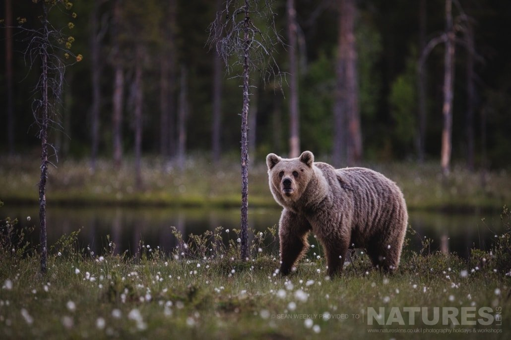 One of the large Brown Bears of the Taiga photographed during the NaturesLens Wild Brown Bears of Finland Photography Holiday