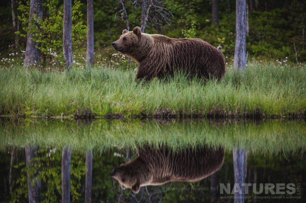 One of the large male Brown Bears ambles through the long grass adjacent to one of the lakes photographed during the NaturesLens Wild Brown Bears of Finland Photography Holiday