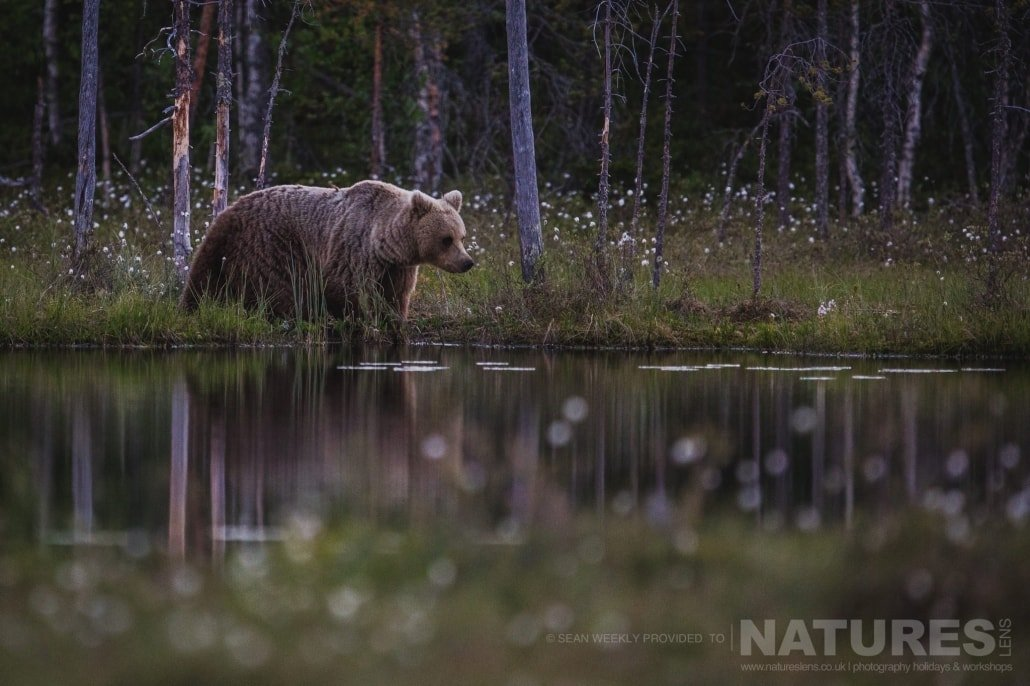 One of the large male Brown Bears walks the water's edge of one of the lakes located in the Taiga Forest