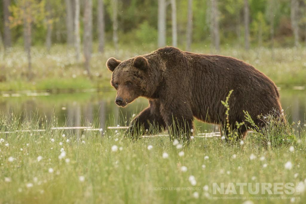 One of the large male wild brown bears up close to one of the hides photographed during the NaturesLens Wild Brown Bears of Finland Photography Holidays