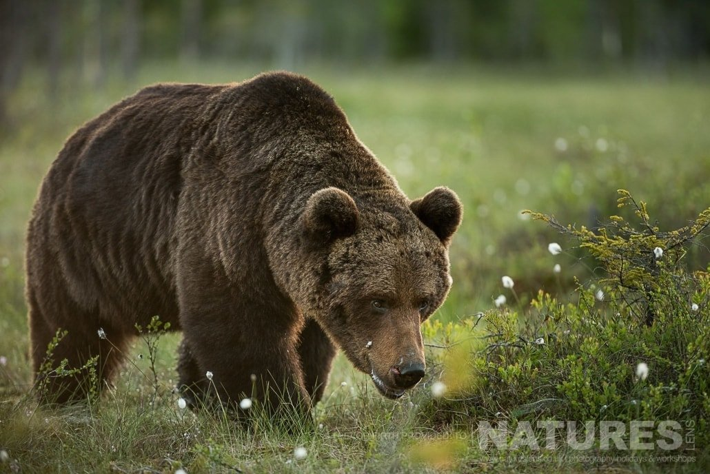 One of the largest male adult wild brown bears approaches one of the hides photographed during the NaturesLens photography holiday to photograph the Wild Brown Bear