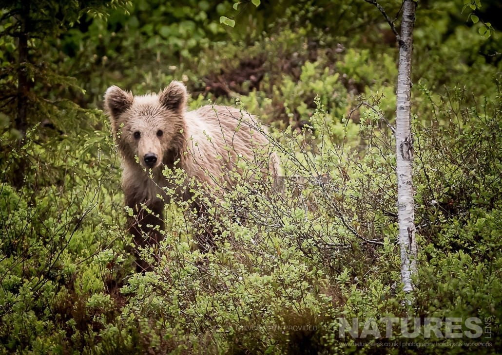 One of the lighter coated Wild Brown Bears captured by NaturesLens guest Trevor during the Wild Brown Bears of Finland Photography Holiday