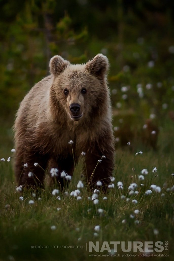 One of the lighter coated young Wild Brown Bears approaches one of the photogaphy hides captured by NaturesLens guest Trevor during the Wild Brown Bears of Finland Photography Holiday