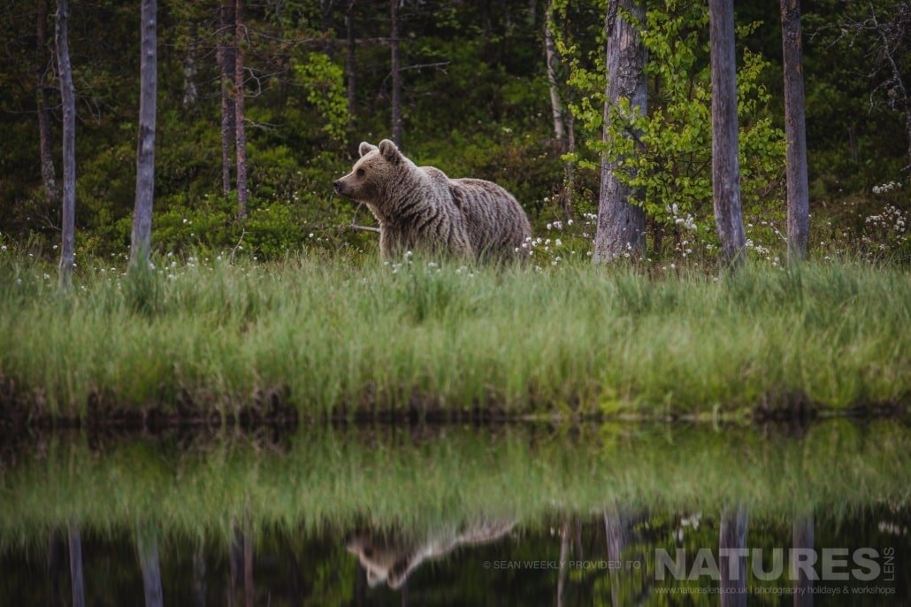 One of the male Brown Bear encountered by our photography group stood on the bank of one of the lakes located in the Taiga Forest