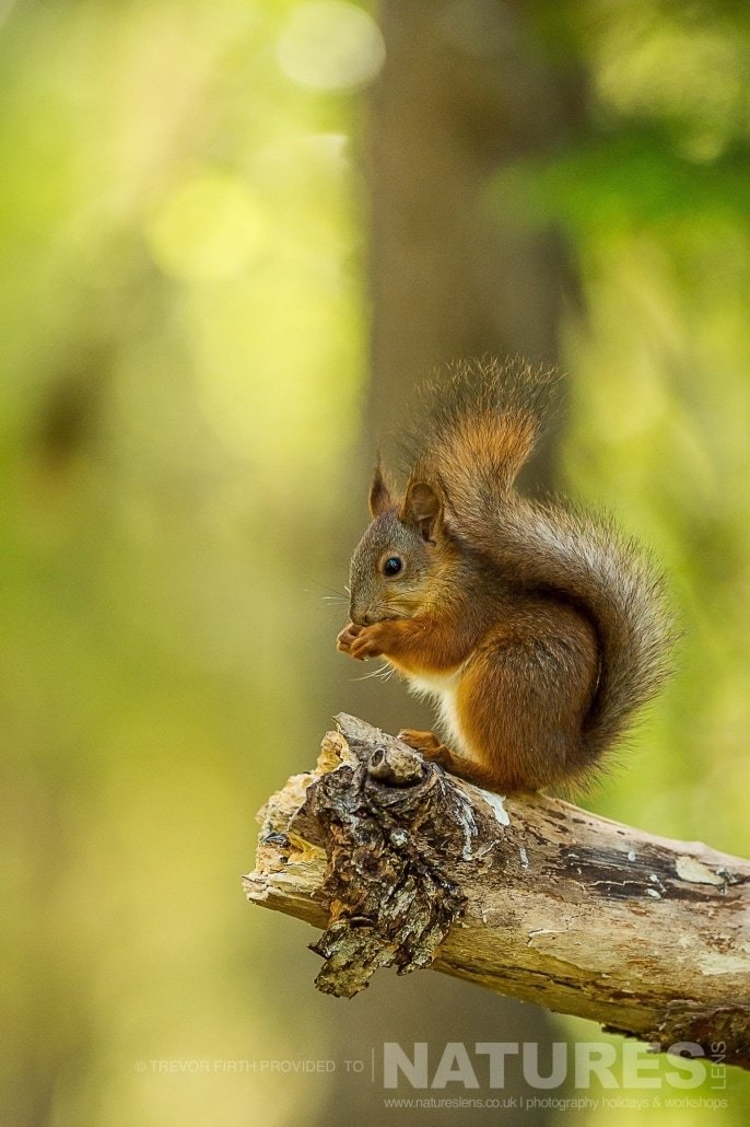 One of the red squirrels found in the forest photographed during the NaturesLens photography holiday to photograph the Wild Brown Bear