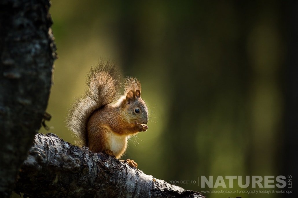 One of the red squirrels perched on a branch found in the forest photographed during the NaturesLens photography holiday to photograph the Wild Brown Bear
