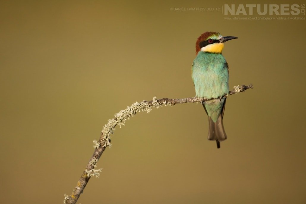 One of the solo Bee eaters perches awaiting the return of it's mate image captured during a NaturesLens Spanish Bird Photography Holiday