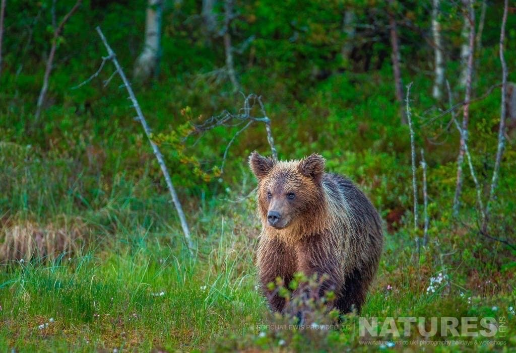 One of the wild brown bears lumbers out of the forest photographed during the NaturesLens Wild Brown Bears of Finland Photography Holidays