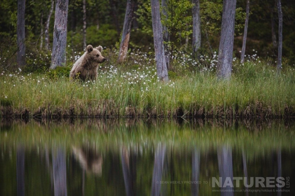 One of the yound Finnish Brown Bears with his reflection in one of the lakes in the area photographed during the NaturesLens Wild Brown Bears of Finland Photography Holiday