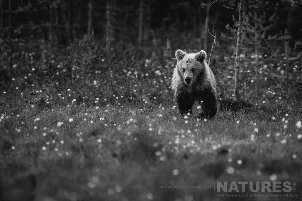 One of the young Finnish Bears approaches through the cotton grass captured during the NaturesLens Wild Brown Bears of Finland Photography Holiday